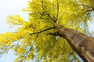 Buchenholz Baum